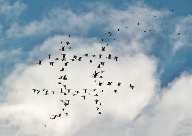 migratory-birds-534926_1920